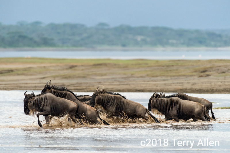 Group of migrating wildebeest splashing through a stream, Lake Ndutu, Tanzania