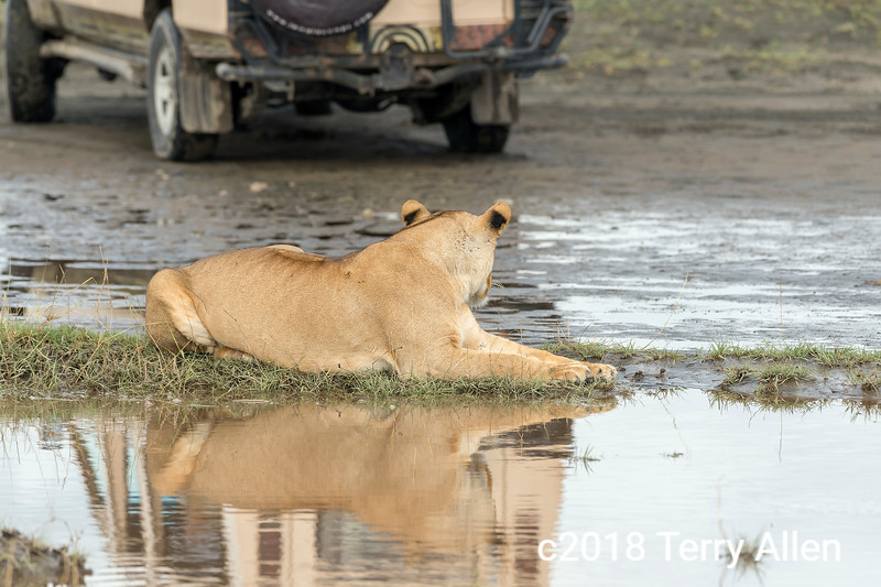Lioness and jeep