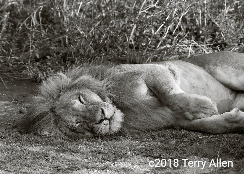 Sleeping male lion, Lake Ndutu, Tanzania