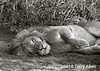 Sleeping male lion, Lake Ndutu, Tanzania