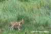 Serval cat (Leptailurus serval) hunting in the tall grass, Lake Ndutu, Tanzania