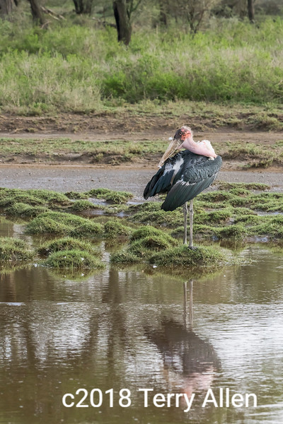 Downy feathers flying from a grooming Maribou stork, reflections, Lake Ndutu, Tanzania
