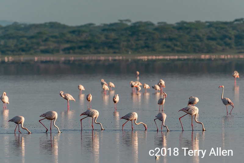 Feeding line, line-up of Greater flamingos feeding in the early morning, Lake Ndutu, Tanzania