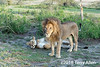 Lion and lioness, mated pair, Lake Ndutu, Tanzania