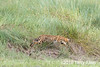 Serval cat (Leptailurus serval) mid-pounce in the long grass, Lake Ndutu, Tanzania