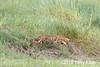 Serval cat (Leptailurus serval) mid-pounce in the long grass, Lake Ndutu, Tanzania