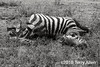 Partially consumed lion kill, zebra carcass, B&W, Lake Ndutu, Tanzania