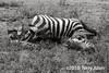 Partially consumed lion kill, zebra carcass, B&W, Lake Ndutu, Tanzania