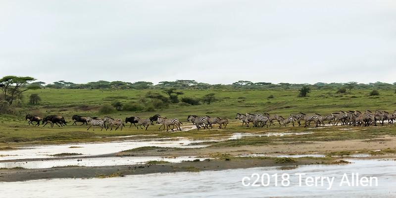 Migrating herds running across the savanna, Lake Ndutu, Tanzania