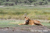 Time of plenty, well fed lioness taking a rest during the Great Migration, Lake Ndutu, Tanzania