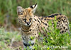 Close-up of a serval cat, Lake Ndutu, Tanzania