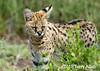 Close-up of a serval cat, Lake Ndutu, Tanzania