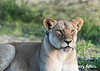 Beautiful young lioness wearing tracking collar, Lake Ndutu, Tanzania