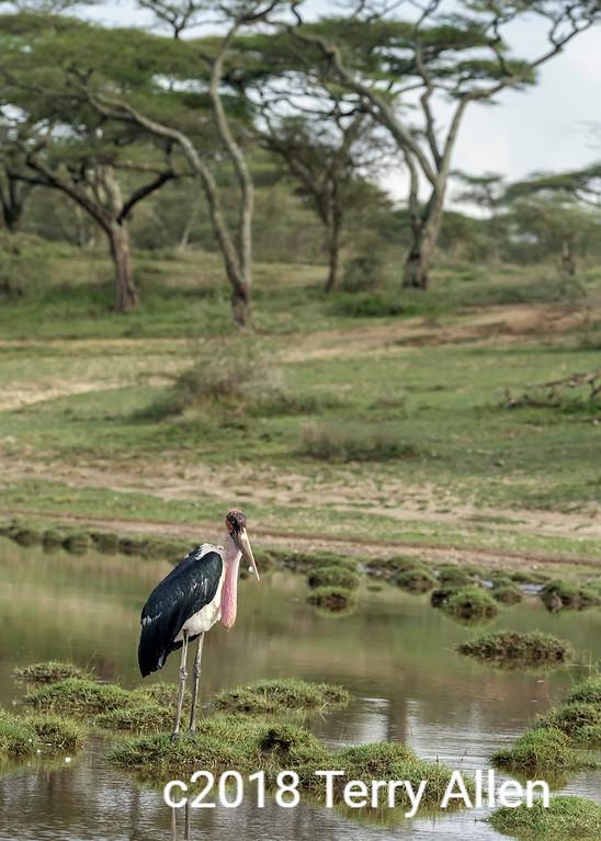 Maribou stork (Leptoptilos crumenifer) with gular sac inflated, Lake Ndutu, Tanzania