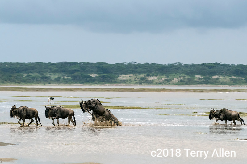 Leaping gnu