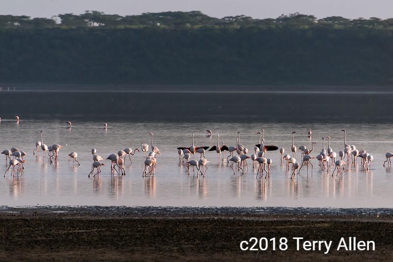 Greater flamingos (Phoenicopterus roseus) feeding in Lake Ndutu, Tanzania