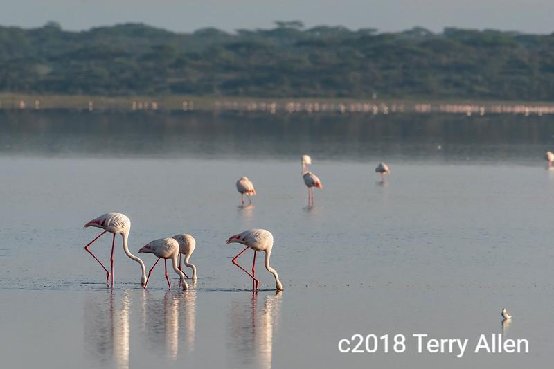 Greater flamingos feeding in the early morning on Lake Ndutu, Tanzania