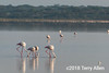 Greater flamingos feeding in the early morning on Lake Ndutu, Tanzania