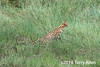 Serval cat (Leptailurus serval) in the long grass getting ready to pouonce, Lake Ndutu, Tanzania