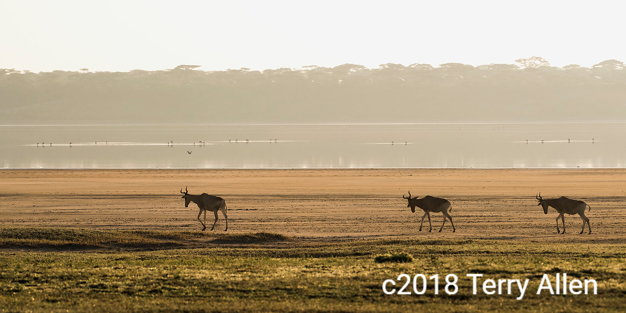 Trio of hartebeests with flamigos on Lake Ndutu in the early morning mist, Tanzania