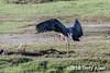Marabou stork (Leptoptilos crumenifer) investigates a carcass, Lake Ndutu, Tanzania