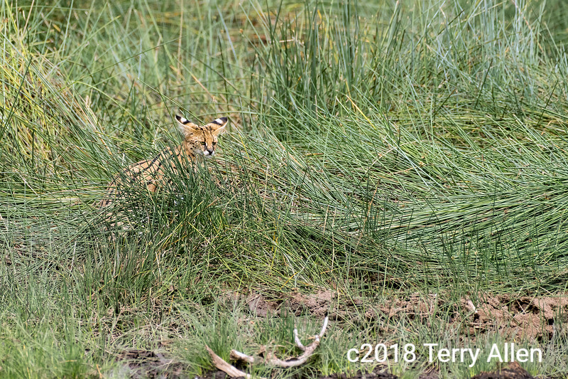 Serval cat (Leptailurus serval) in the long grass getting with its big ears, Lake Ndutu, Tanzania