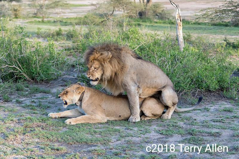 Lion mating with lioness, Lake Ndutu, Tanzania