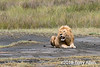 Time of plenty, well fed lion taking a rest during the Great Migration, Lake Ndutu, Tanzania