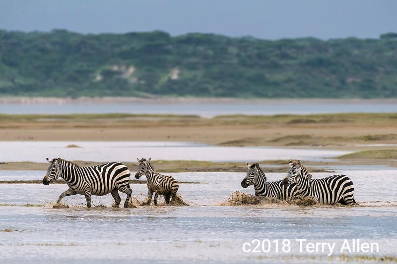 Zebras and foal splashing across a deep stream, Lake Ndutu, Tanzania