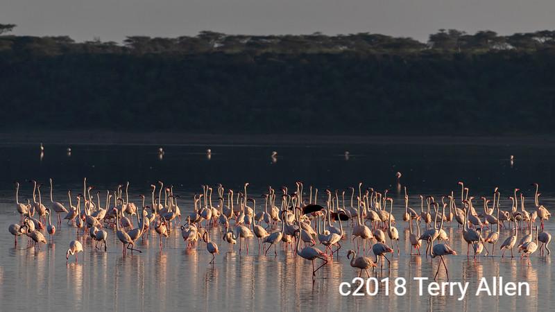Greater flamingoes in early morning light, Lake Ndutu, Tanzania