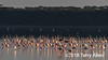 Greater flamingoes in early morning light, Lake Ndutu, Tanzania