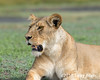 Lioness with flies on face and open mouth, Lake Ndutu, Tanzania