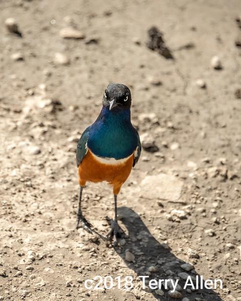 Superb starling begging for food