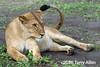 Resting lioness waving away flies with tail, Lake Ndutu, Tanzania