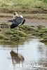 Preening stork