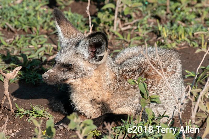 Bat-eared fox (Otocyon megalotis) crouching in the vegetation, Lake Ndutu, Tanzania