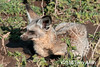 Bat-eared fox (Otocyon megalotis) crouching in the vegetation, Lake Ndutu, Tanzania