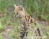 Grooming serval cat licking its nose, Lake Ndutu, Tanzania