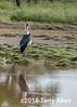 Maribou stork in breeding plumage showing hindneck patch and bular sac in front, Lake Ndutu, Tanzania