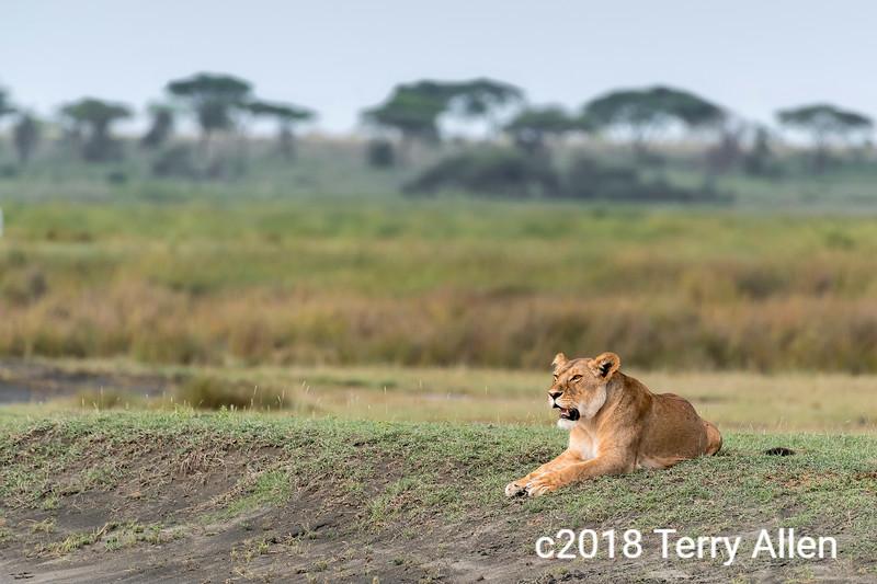 Well fed lioness watching the migrating herds, Lake Ndutu, Tanzania