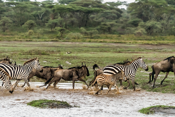 Zebras and wildebeest headed north during the spring migration, Lake Ndutu, Tanzania sm