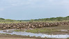 Huge herd of wildebeest with a few zebras on the Great Migration north, Lake Ndutu, Tanzania