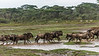 Early morning rush hour, wildebeest rushing across a small stream, Lake Ndutu, Tanzania sm