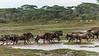 Early morning rush hour, wildebeest rushing across a small stream, Lake Ndutu, Tanzania sm