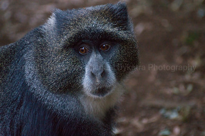 The blue monkey which greeted us at camp! Very similar to the Golden Monkeys I saw in Rwanda (which you should check out if you haven't seen them)
