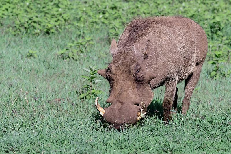 Large old warthog (Phacochoerus africanus) foraging in the fresh grass, Ngorongoro caldera, Tanzania