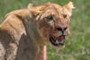 Portrait of a lioness near a recent kill, Ngorongoro Caldera, Tanzania