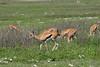 Wildflower meadow with gazelles