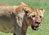 Lioness fresh from gorging on a zebra kill, Ngorongoro Caldera, Tanzania