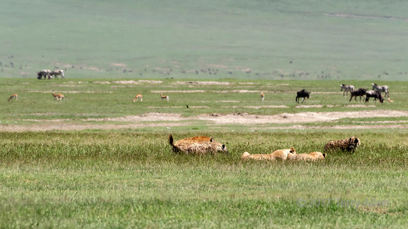 Hyenas closing in on two female lions feasting on a zebra carcass in the mid-day heat haze, Ngorongoro Caldera, Tanzania
